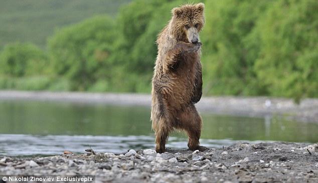 танцующий русский медведь