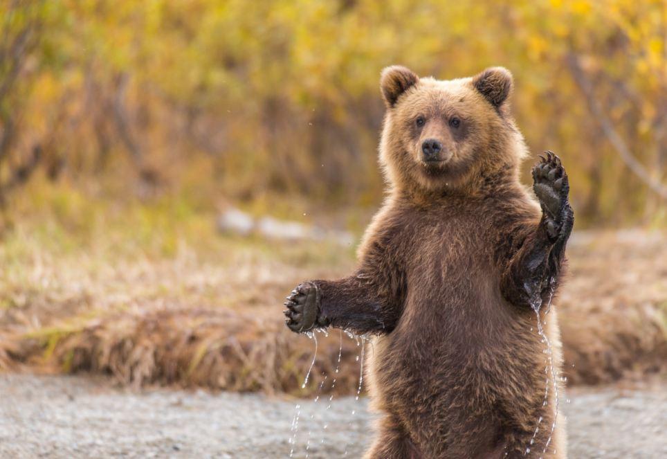 машущий медведь