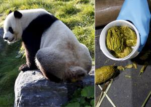 panda-poo