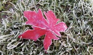 лист с инеем на траве
